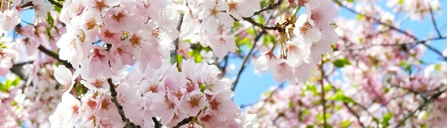 Cherry Blossoms At Home And Abroad With Ambassadair Travel